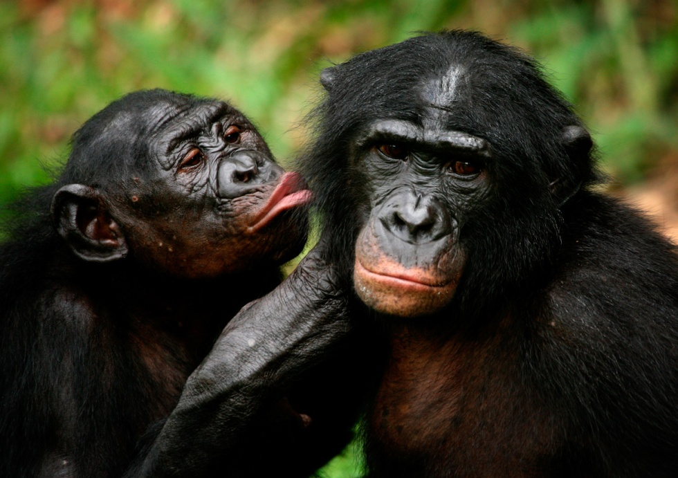 Pareja de Bonobos. Fotografía de REUTERS / Finbarr OReilly